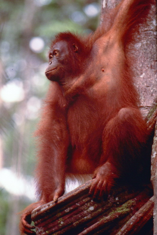Orang Utan