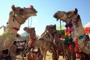 Auf dem Pushkar Kamelmarkt