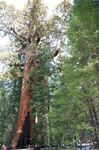 Ein gigantischer Mammutbaum im Yosemite National Park