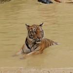 Urlaubsreise - der Tigertempel Wat Pa Luangta Bua in Kanchanaburi