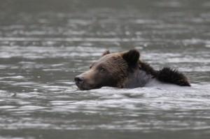 Grizzlybär bei der Flussüberquerung