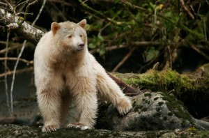 Wunderschöner und seltener Spirit Bear (weißer Grizzlybär) in British Columbia