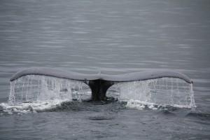 Wal vor der Küste von British Columbia