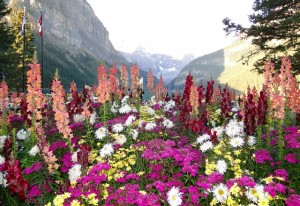 Blumenmeer am Lake Louise, Alberta - Kanada