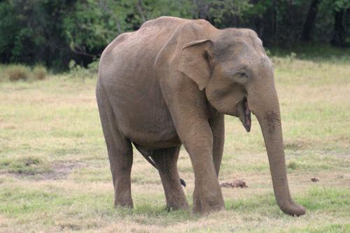 Elefant im Kaudulla Nationalpark