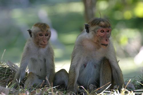 """Hutaffen, die """"Bewohner"""" Anuradhapuras"""