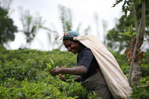 Teepflückerin Rundreise Sri Lanka