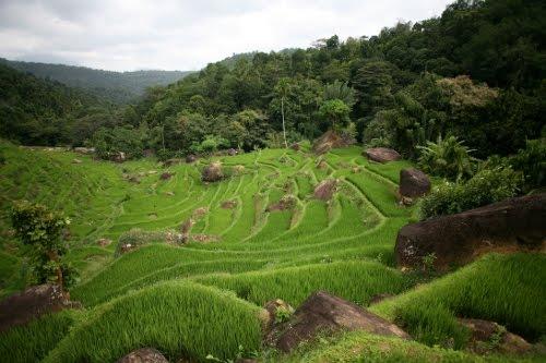 Reisterrassen-Felder beim Knuckles-Gebirge