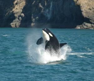 springender Wal vor British Columbia Kanada