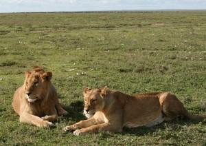 Löwenpäärchen