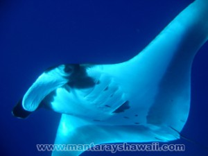 Mantarochen Tauchen, Hawaii