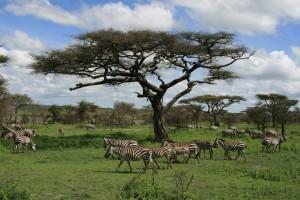 Zebraherde in der Serengeti
