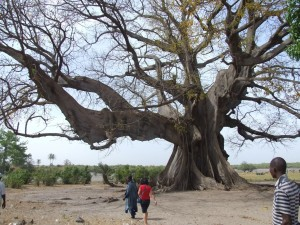 Fromagierbaum im Sine Saloum Delta