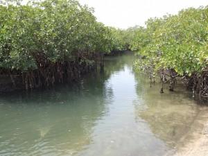 Mangroven im Sine Saloum Delta