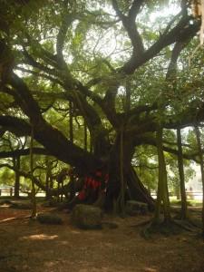 der Banyan-Baum
