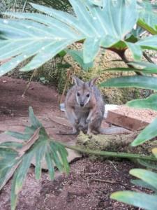 ein Wallaby