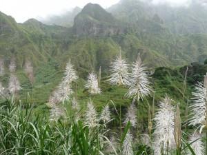Zuckerrohr auf Santo Antao