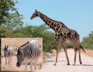 Etosha-Tierbeobachtungen