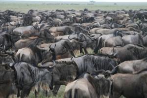 Tierwanderung-Serengeti