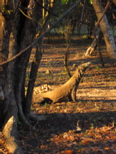 Komodo Warane
