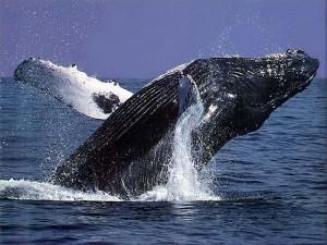 Buckelwal auf Hawaii