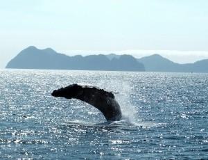 Walbeobachtungstour in Alaska