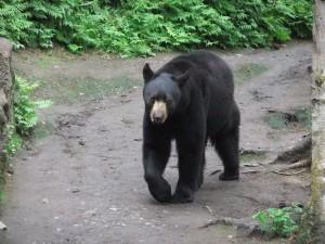 Alaska Zoo, Bärenaufzucht