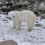 Bei den Eisbären in der Hudson Bay, Manitoba - Kanada