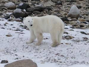 Eisbär an der Hudson Bay, Kanada