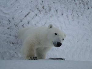 von Angesicht zu Angesicht mit einem Eisbären