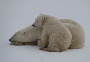 Mutter Eisbär mit ihrem Kleinen.