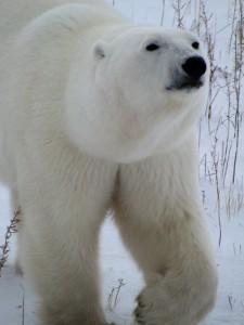 Eisbär in der Nähe der Tundra Buggy Lodge.