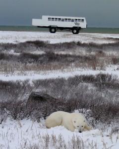 ruhender Eisbär in der Hudson Bay, Kanada