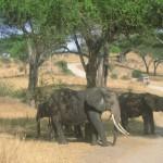 Elefanten Tarangire