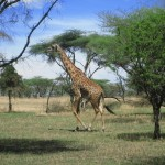 Giraffe in der Serengeti