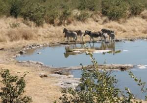 Zebras am Halali Wasserloch