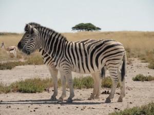 Wildtiere im Etosha Nationalpark