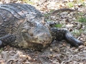 Krokodil in den Mangrovensümpfen von Kuba