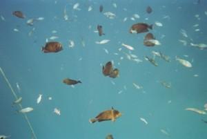 Fische am Korallenriff im Roten Meer