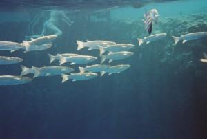 Fischschwarm am Iberotel Lamaya Resort