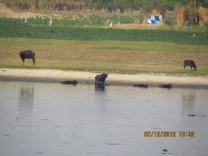 Kühe am Ufer des Nil