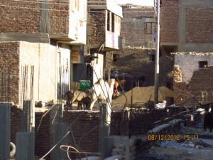 Kamel und Kuh in Luxor