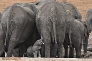 Ein wenige Tage altes Elefantenkalb