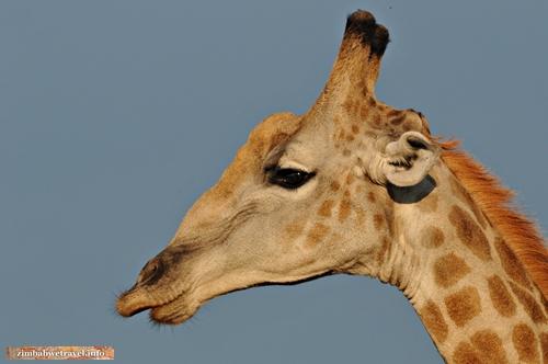 Im Hwange Nationalpark beobachtet uns ein Giraffenbulle neugierig.
