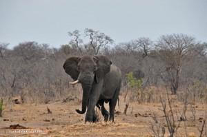 Elefantenbulle auf dem Weg zum Wasser im Hwange Nationalpark
