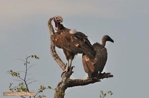 Ein seltener Ohrengeier im Hwange Nationalpark