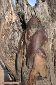 Mopane-Baumstumpf,von Elefanten glatt poliert.