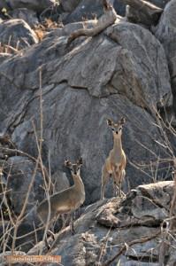 Klipspringer auf einem Granitfelsen im Hwange Nationalpark