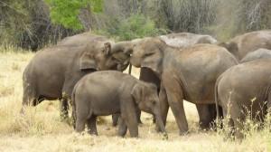 Elefanten im Minneriya Natopnalpark
