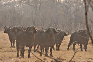 Zu Fuss beobachten wir Bueffelbullen im Hwange Nationalpark